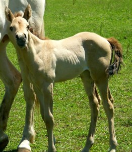 Buckskin Filly 1