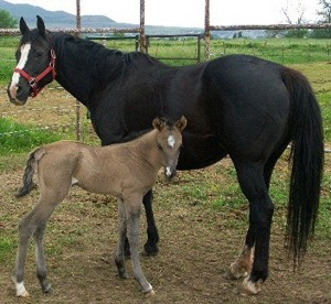 Pepper With Grulla Colt 1